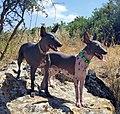 American hairless terriers in Israel.jpg