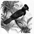 Americana 1920 Jays - Blue-capped Jay.png