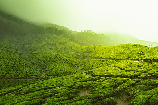 Tea Gardens (Unsplash)