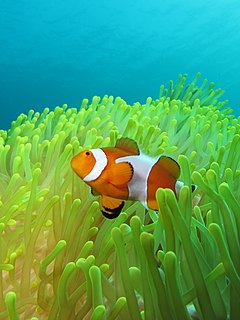 Amphiprion ocellaris at Gilli Banta.JPG