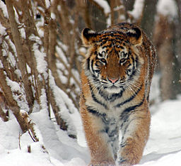 Amur Tiger Panthera tigris altaica Cub 2184px adjusted