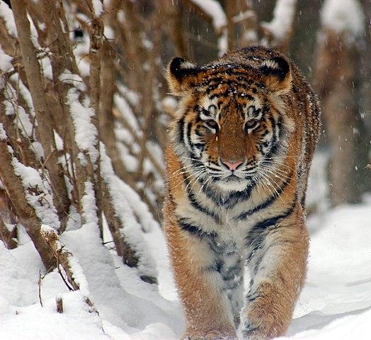 File amur tiger panthera tigris altaica cub 2184px for Disegni delle tigri