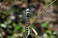 Anax immaculifrons Blue Darner from Valparai IMG 8478 a.jpg