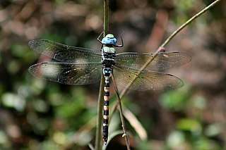 <i>Anax immaculifrons</i> species of insect