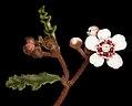 Androcalva pulchella - Flickr - Kevin Thiele.jpg
