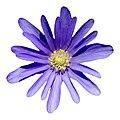 Anemone blanda-001.jpg