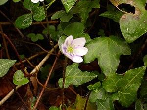 Anemone hepaticaZugarramurdi2015.jpg