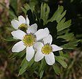 Anemone narcissiflora (flower s2).jpg