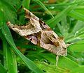 Angle Shades. Phlogophora meticulosa - Flickr - gailhampshire.jpg