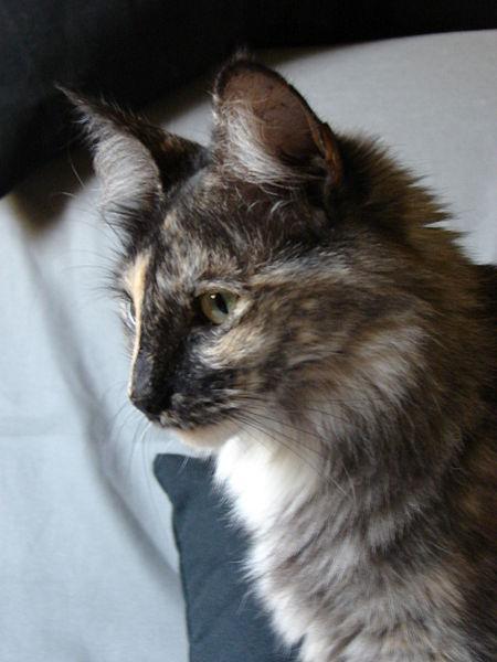 chat angora turc