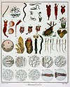Animalcules observed by anton van leeuwenhoek c1795 1228575.jpg