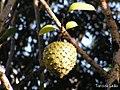 Annona montana, aticum - Flickr - Tarciso Leão (13).jpg