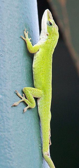 Anolis - Green anole (Anolis carolinensis)