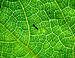 Ant on a pumpkin leaf.JPG