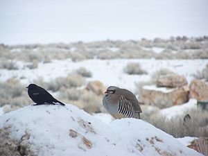 Chukar partridge - Chukar partridge in the Antelope Island State Park, Utah, US