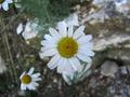 Anthemis-cupaniana---capolino.png