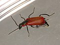 Anthocomus rufus (36535334051).jpg