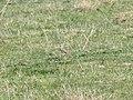 Anthus australis (37798701741).jpg