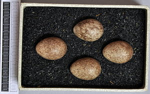 Meadow pipit - Eggs, Collection Museum Wiesbaden