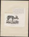 Antilope soemmeringii - 1872 - Print - Iconographia Zoologica - Special Collections University of Amsterdam - UBA01 IZ21400083.tif