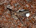 Antrostomus noctitherus -Puerto Rico -taking off-8.jpg