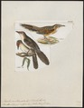 Anumbius acuticaudatus - 1820-1860 - Print - Iconographia Zoologica - Special Collections University of Amsterdam - UBA01 IZ19200173.tif