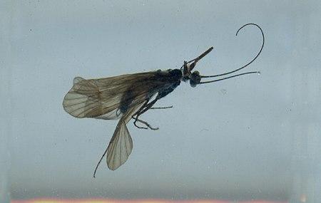 Apatania brevis