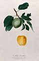 Apple (Malus species); fruiting branch with separate fruit. Wellcome V0043140.jpg