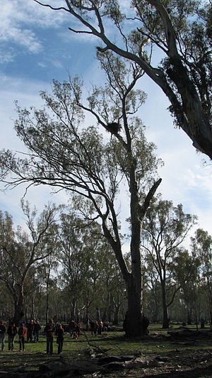 Wedge-tailed eagle - Nest site in the Barmah-Millewa Forest