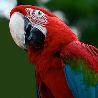 Red-and-green macaw - Image: Ara chloroptera upper body 4