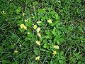 Arachis pintoi habit10 Carol Rose (9528237962).jpg