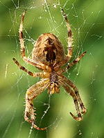 File:Araneus diadematus (female - ventral).jpg