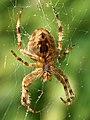 Araneus diadematus (female - ventral).jpg