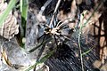 Aranha - Família Lycosidae.jpg