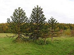 Araucaria araucana arboretummt 1