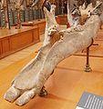 Archaeobelodon filholi.JPG