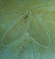Archegetes neuropterorum.jpg