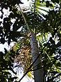 Archontophoenix cunninghamiana (H.A.Wendl.) H.A.Wendl. and Drude (AM AK297717-2).jpg