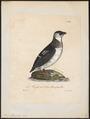 Arctica alle - 1825-1834 - Print - Iconographia Zoologica - Special Collections University of Amsterdam - UBA01 IZ17800319.tif
