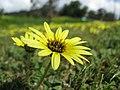 Arctotheca calendula flowerhead6 (11767783956).jpg