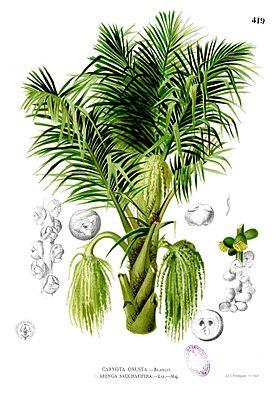 Zuckerpalme (Arenga pinnata)aus Francisco Manuel Blanco: Flora de Filipinas.