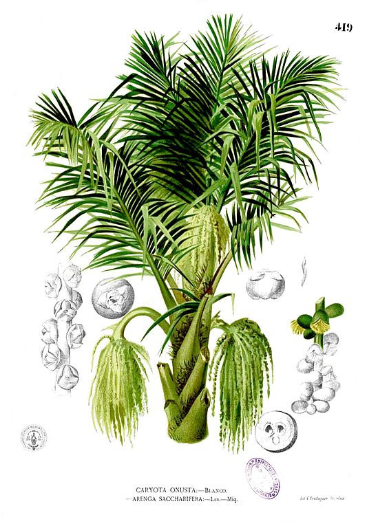 Dessin botanique du Arenga pinnata originaire des Philippines - Oeuvre de Francisco Manuel Blanco (1880)