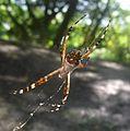 Argiope argentata (Araneidae) - Flickr - gailhampshire.jpg