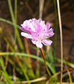 Armeria purpurea4.jpg