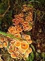 Armillaria nabsnona T.J. Volk & Burds 381936.jpg