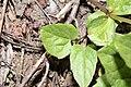 Arnica latifolia 7427.JPG