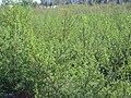 Artemisia campestris Habitus 2010-11-05 CampodeCalatrava.jpg