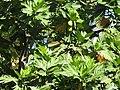 Artocarpus altilis-1-polonnaruwa-Sri Lanka.jpg