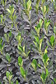 Artocarpus heterophyllus Leaves 4847.jpg
