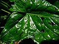 Arum maculatum leaf with spots - geograph.org.uk - 1240701.jpg
